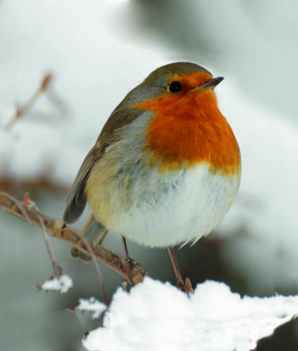 frosty robin cancer research uk christmas card