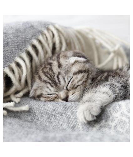 Napping Kitten Greetings Card