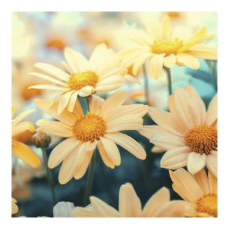 Softly Lit Daisies Greetings Card